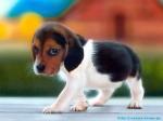 beagle-puppy1