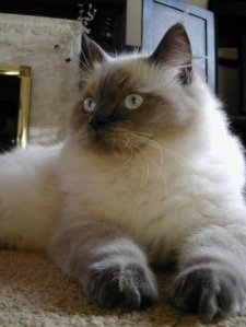 ragdoll-cat-facts-2